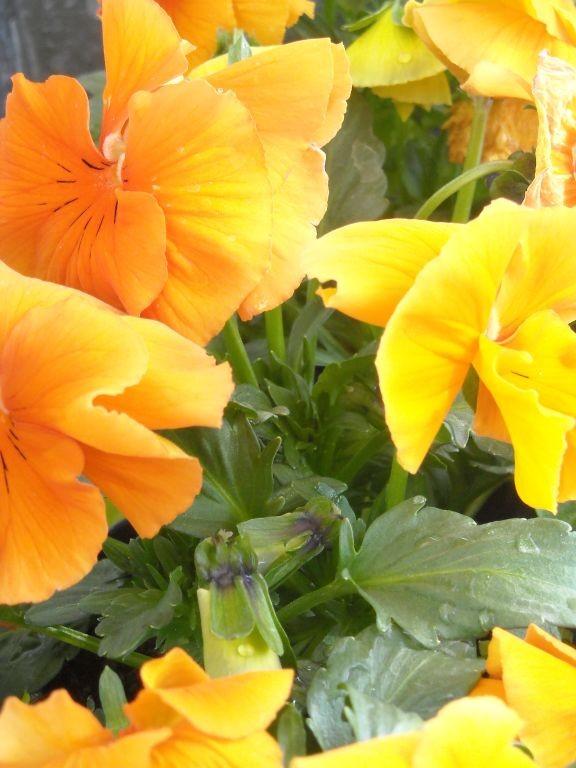Pozostałe, Bratki i inne kwiatki...................... - ...............i miodowe bratki..............a jak pachną............