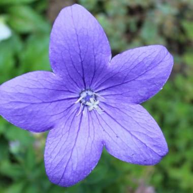 Rozwar wielkokwiatowy, ma piękne dzwonki:)