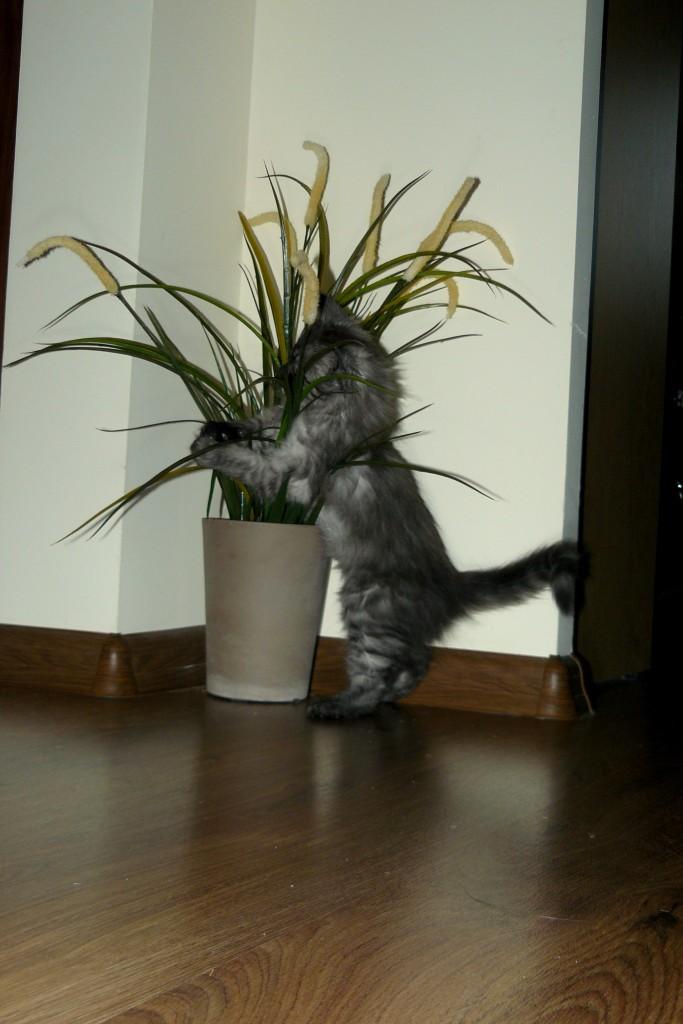 Pozostałe, Mieszkanie w oczach naszego kota... - ulubiony kwiatek (na szczęście sztuczny...)