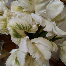 Holenderskie tulipany na salonach &#x3B;)
