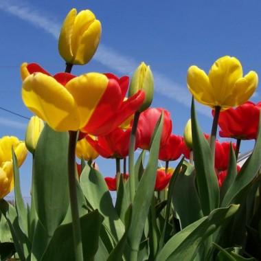 tulipany na rabacie. jeden zrobił mi psikusa i jest żółto-czerwony ten po lewo (to nie fotomontarz)