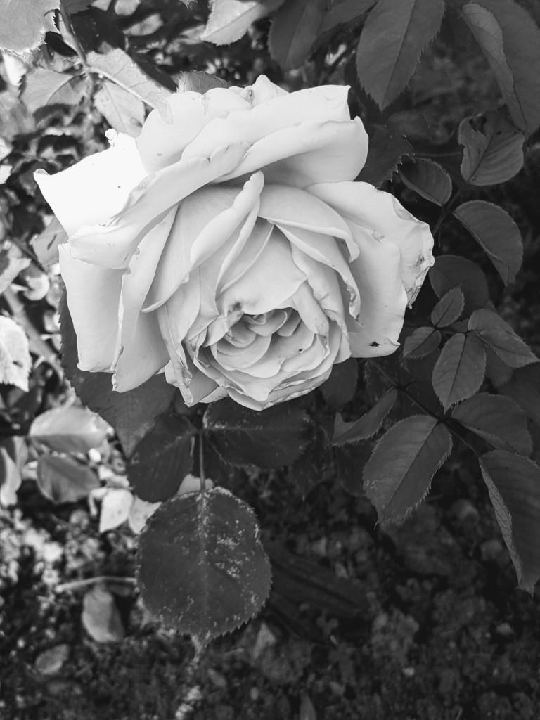 Rośliny, Kwiaty mojej mamy.