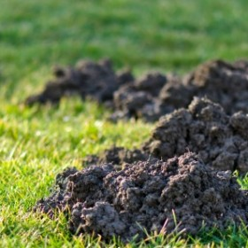 Do czego wykorzystać ziemię z krecich kopczyków?