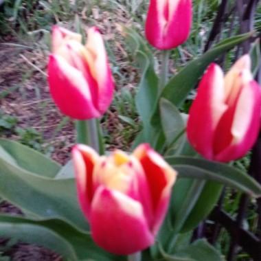 Nie mogę doczekać się tulipanów. Co roku zaskakują mnie swoim pięknem. Trochę ubiegłorocznej wiosny.