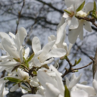 Czas na majówkę ..........i..........czas na magnolie ..........