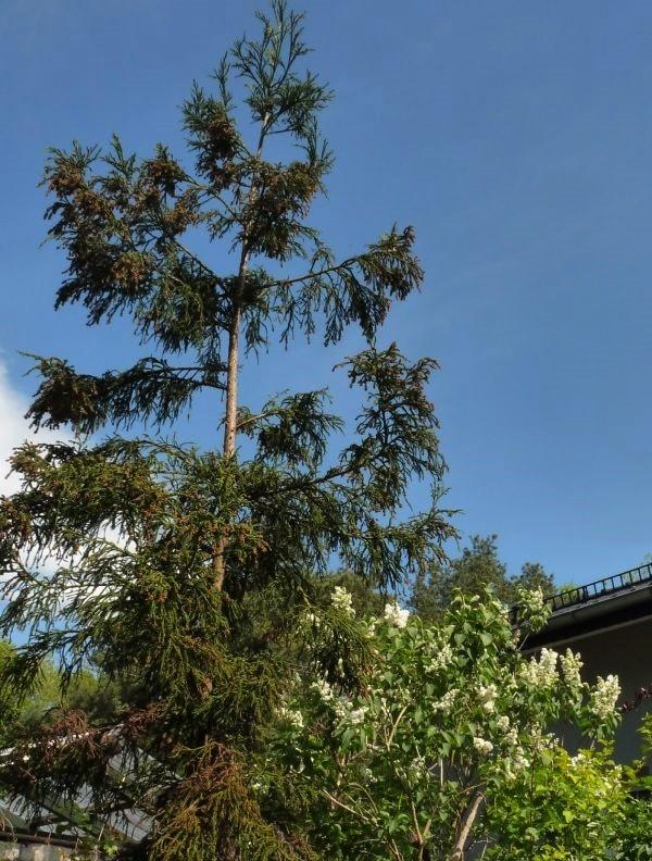 Ogród, Bez, bzy - to cudaczne drzewo bez nazwy dosięgnie kiedyś nieba