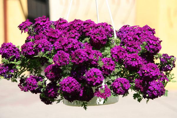 Wiszące Doniczki Na Balkonie Jakie Kwiaty W Nich Posadzić