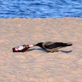 Kawka nad morzem