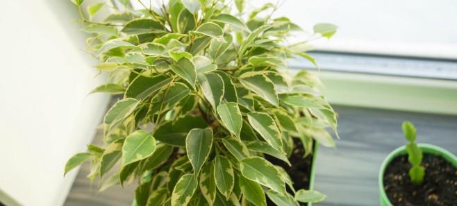 Fikus (Ficus) - odmiany, uprawa i pielęgnacja
