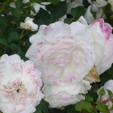 ............i róża nakrapiana................