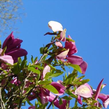 ...............i magnolia...............