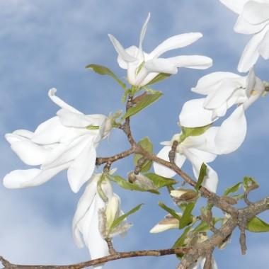 .............i kwiaty magnolii...........