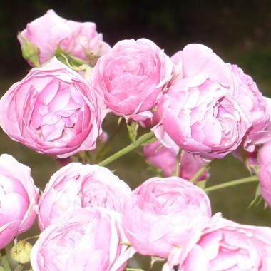 .............i róża peoniowa.............