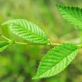 Ciekawa roślina na żywopłot – wiąz turkiestanu