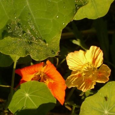 ....................i kwiaty nasturcji....................