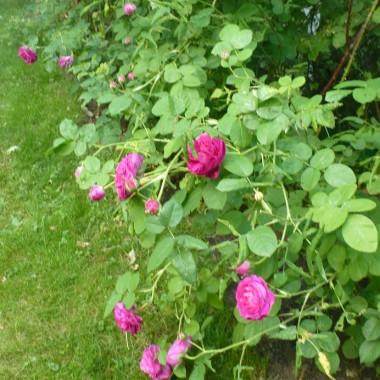 .................i róża konfiturowa.................ugina się pod ciężarem kwiatów................