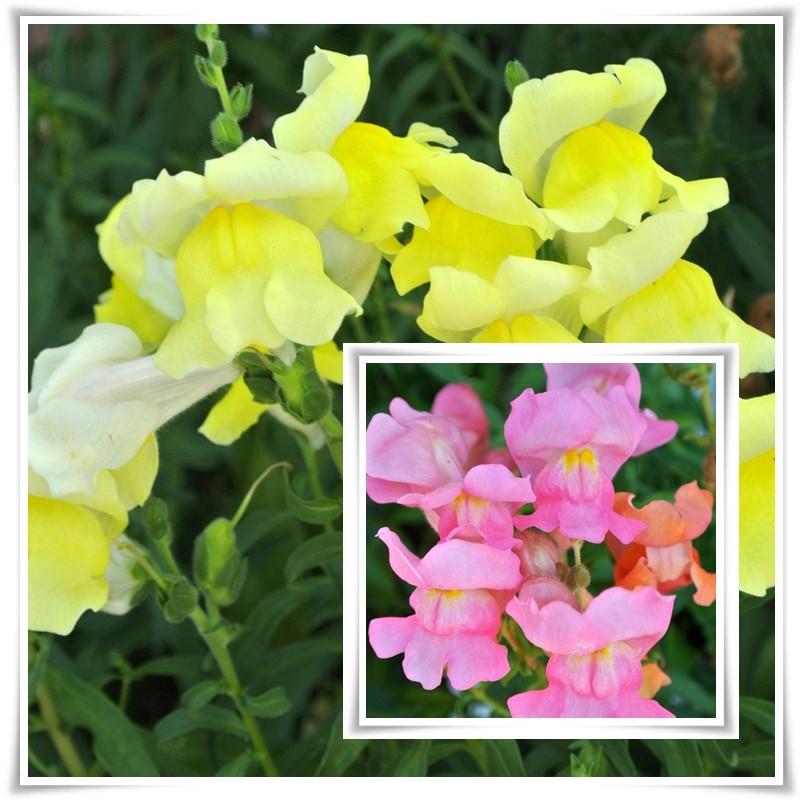 Rośliny, Deszczowo,nastrojowo - ..ostatnie lwie paszczki...Jednoroczne podobno...