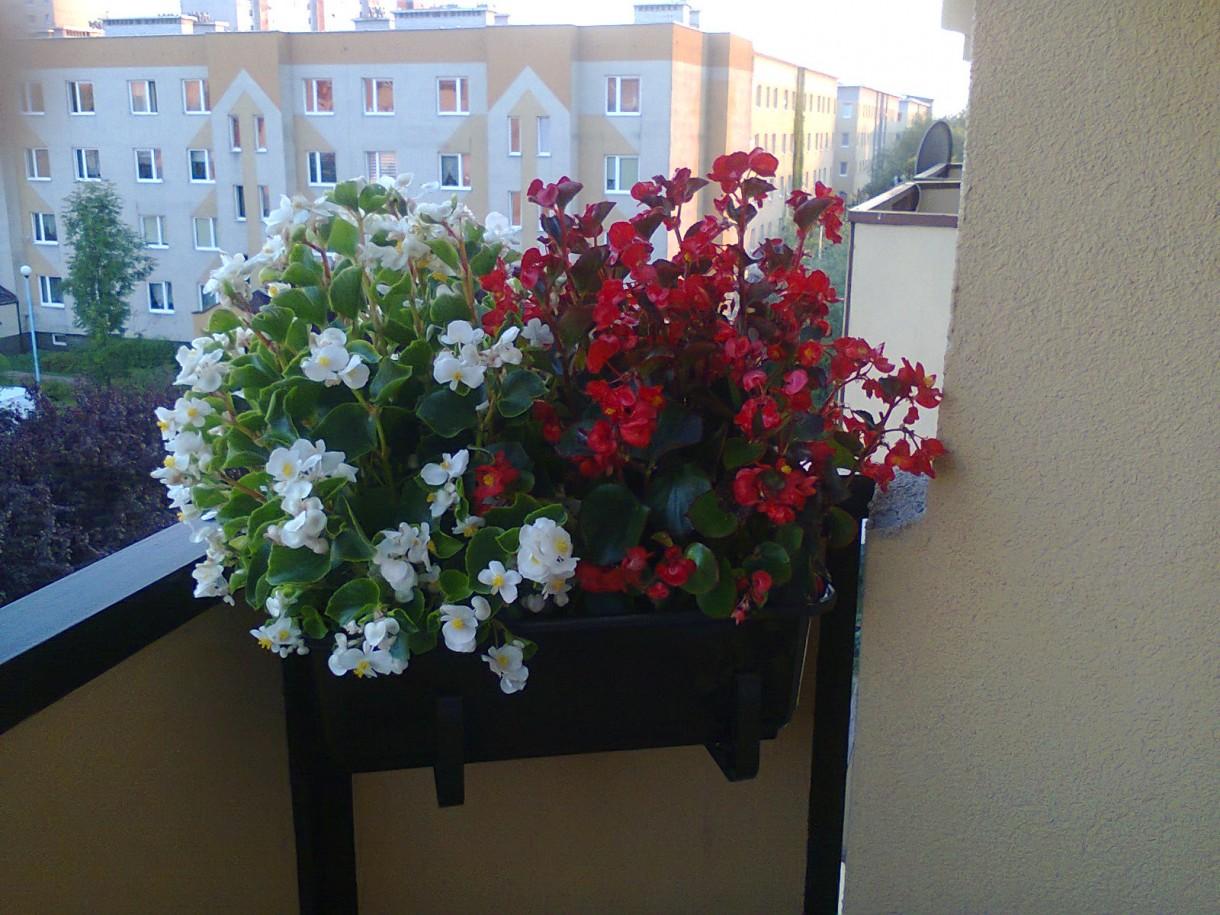 Pozostałe, balkon - Też begonie tylko na innej balustradzie balkonu.
