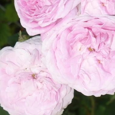 ................i delikatna różowa róża ...............