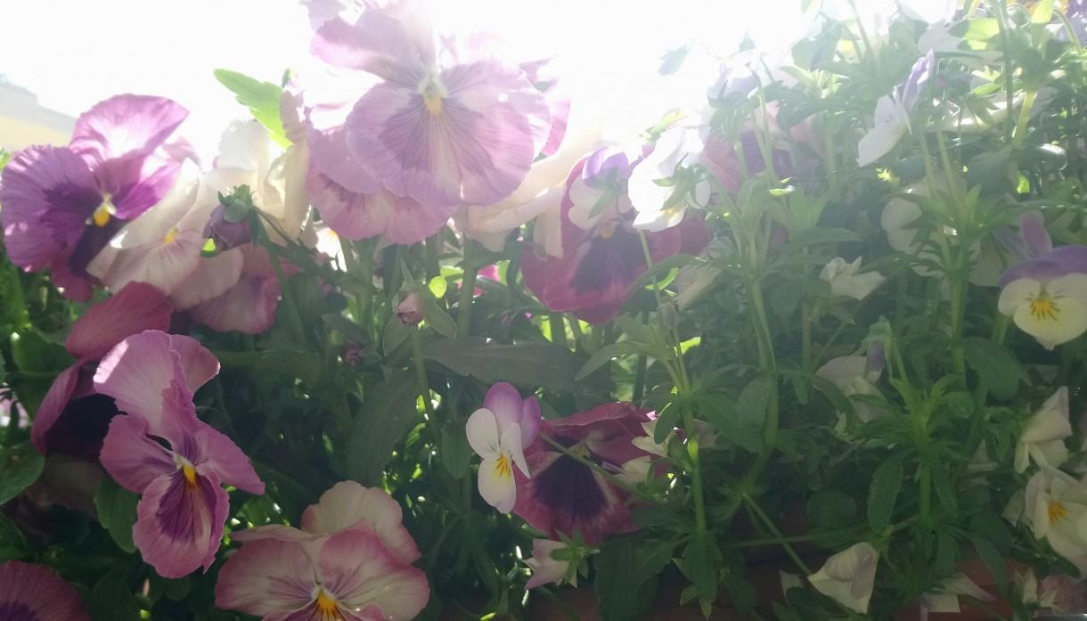 Rośliny, Majowe radości................... - ............i bratki..............