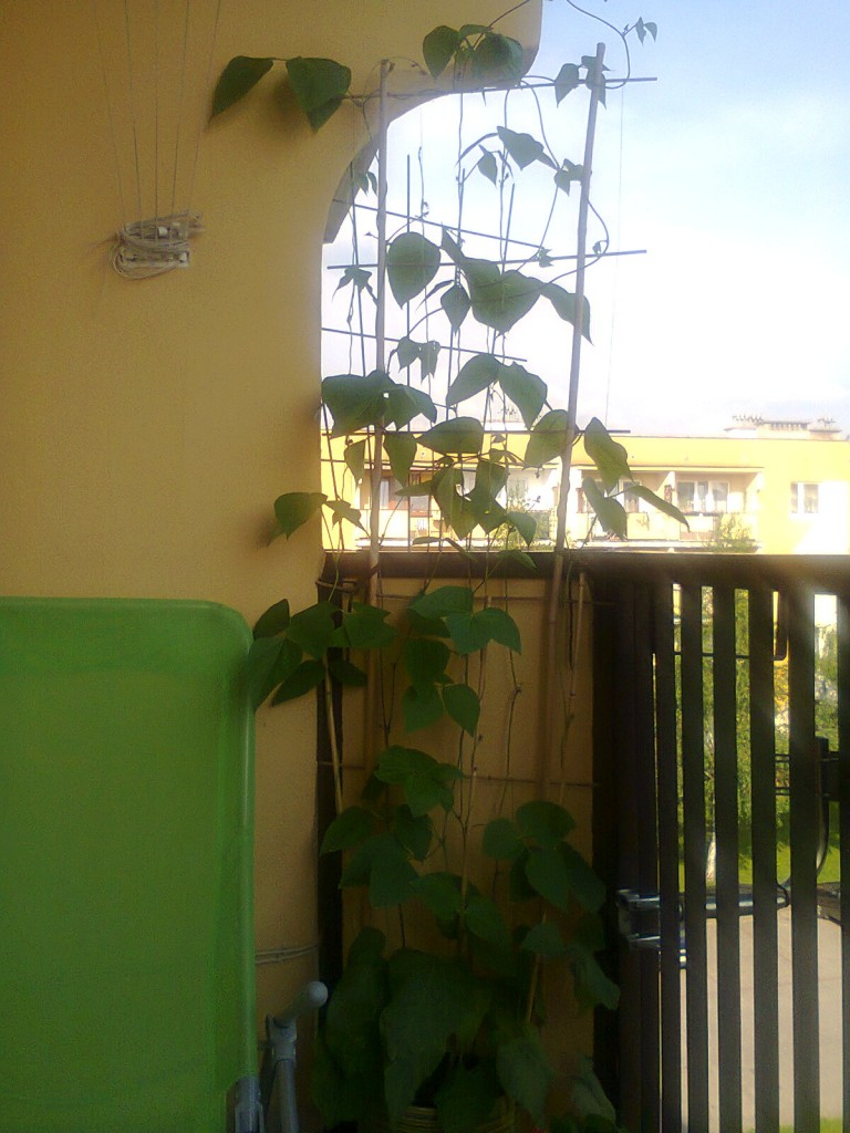 """Pozostałe, balkon - Pierwszy opis mi się nie udał ponieważ """"wyrzuciło"""" mnie ze strony. Dlatego opis do tego zdjęcia dałam w komentarzach. To wycięcie półkoliste w płycie to jest miejsce, które mam do zasłonięcia przez rośliny, żeby mi sąsiedzi na balkon nie zaglądali (ani ja im). Początek rośnięcia fasoli ozdobnej."""