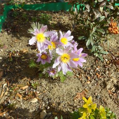 przed domem zakwitła sasanka