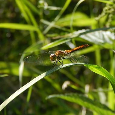 Black eyed Susan czyli czarnooka Zuzanna tak nazywana jest przez mieszkańców Ameryki Północnej rudbekia.Pięknie prezentuje się w promieniach słońca.Jej płatki są złociste i rude.Zrobiłam mnóstwo fotek .Jest i zielony konik polny,para sarenek,złocista ważka...i motyle:)))))))))