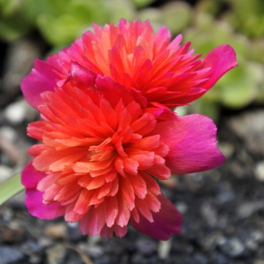 Double Moss Rose