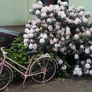 Święto kwitnącego rododendrona