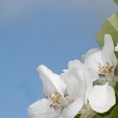 .................i kwiaty jabłoni...............