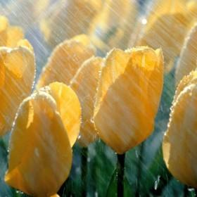 tulipanki