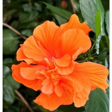 """Wybrałam się  poza Webster,do South Deerfield.Jest tam Butterfly Conservatory& Gardens z przępięknymi ,latającymi  okazami motyli. Niezbyt duże  pomieszczenia,ale kwiatów i Magicznych Skrzydeł sporo.Tylko moje Drogie..nie tak łatwo złapać motyla w kadr,szczególnie wŚród ludzi  biegających z kamerami w pogoni za latającymi kolorami. Dobrze chociaż ,że kwiaty nie fruwały. Zapraszam do obejrzenia  migawek z tego przeuroczego miejsca. Biedny Alfik musiał niestety siedzieć z synem w samochodzie.Trudno..on może łapać tylko muchy...MyŚlę  ,że wybaczycie mi brak podpisów pod oryginalnymi kwiatami,ale...goniłam za motylami...nie zdążyłam zanotować..Już mam ! Pomogły koleżanki z portalu """"Świat kwiatów. Dziękuję."""
