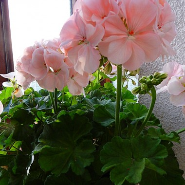 Pelargonia rozkwitła jak szalona (chyba całe lato czekała na ten moment &#x3B;))
