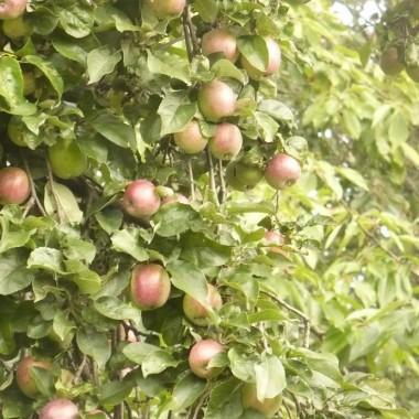 .............i jabłuszka dojrzewają...............