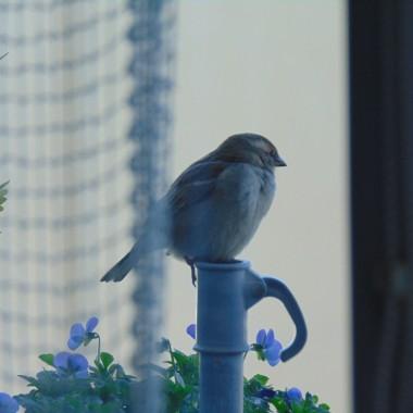 ............i wróbelek ...........zadomowił się u mnie na balkonie ........to ona...........