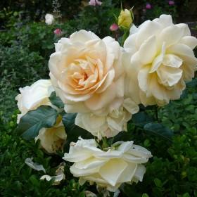 Cóż, lubię krem, fiolet i róż