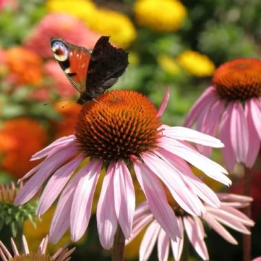 Zioła i motylki...:)