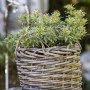 Rośliny, Jesienne kwiaty na balkon - Pieris  Mają piękne zimozielone, skórzaste i błyszczące liście, skupione na szczycie pędu, z wierzchu ciemnozielone i błyszczące. Młode liście zazwyczaj wczesną wiosną są szkarłatne, w miarę upływu czasu zielenieją. Bardzo popularna jest odmiana 'Gold Flame' o liściach w kolorze ognistej czerwieni.  Fot.123RF.com