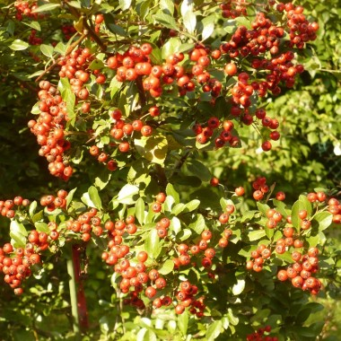 ...................i krzewy pełne owoców.................