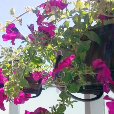 W tym roku ponownie zasadziłam surfinie w moim ulubionym kolorze i komarzyce