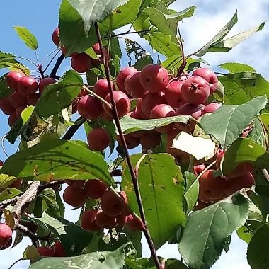 .....................i jabłuszka................