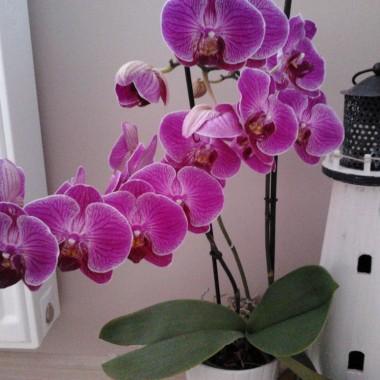 """Tak pięknie kwitnie orchidea """"z odzysku"""" :)"""