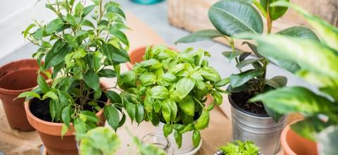 Błędy popełniane podczas pielęgnacji roślin domowych i mity, w którewciąż wierzymy