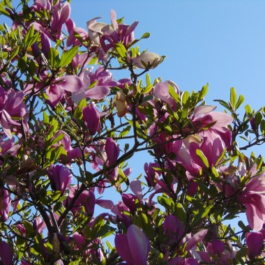 .................i magnolia ............