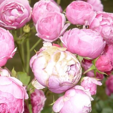 ................i róża niczym piwonia..................