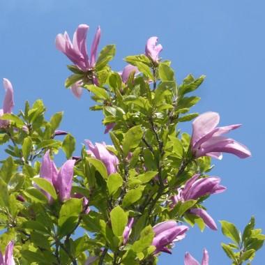 ............i ostatnia kwitnąca magnolia tej wiosny...............