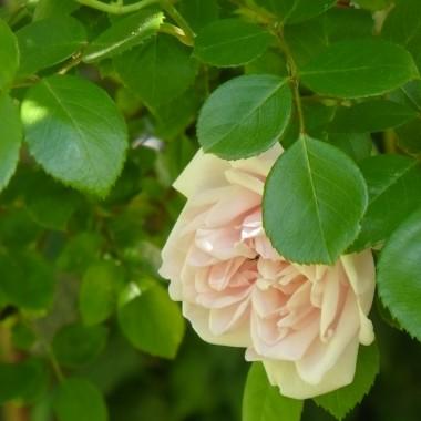...............i róża.................