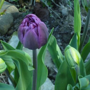 Tulipany w roli głównej