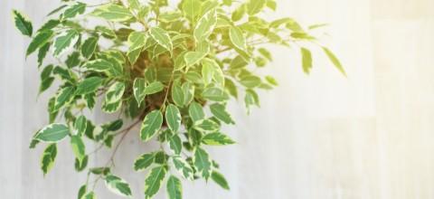 Fikus (Ficus) - uprawa i pielęgnacja