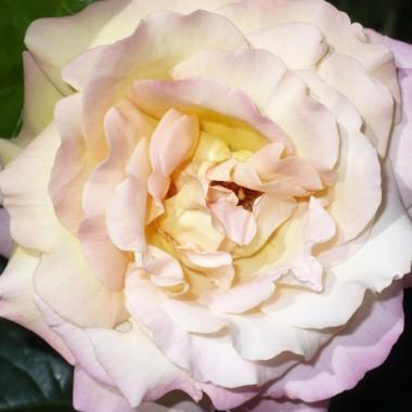 ...............i róża w ogrodzie................